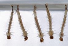 Larva do Aedes aegypti